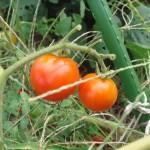 豊作の予感 ミニトマト
